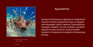 Рыбы Красного моря - Крылатка