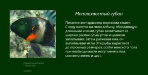 Рыбы Красного моря - Метлохвостый губан