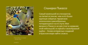 Рыбы Красного моря - Спинорог Пикассо